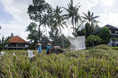 Agriculteur recueillant le riz de la manière traditionnelle Ubud, Bali Indonésie Photos libres de droits