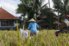 Agriculteur recueillant le riz de la manière traditionnelle Ubud, Bali Indonésie Photographie stock
