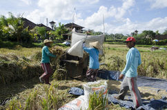 Agriculteur recueillant le riz de la manière traditionnelle Ubud, Bali Indonésie Image stock