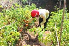 Agriculteur sélectionnant la tomate mûre dans le potager Image stock