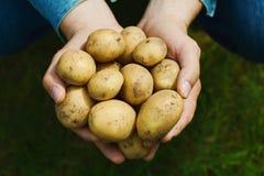 Agriculteur tenant dans des mains la récolte des pommes de terre contre l'herbe verte Légumes organiques affermage image libre de droits