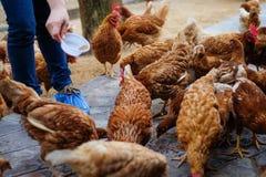 Agriculteur tenant le bol blanc d'alimentation des animaux dedans pour des beaucoup poule de poulet Images stock