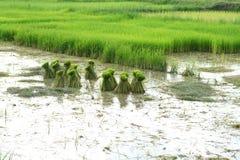 Agriculteur thaïlandais plantant sur les terres cultivables de riz non-décortiqué Photos libres de droits