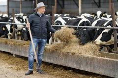 Agriculteur travaillant à la ferme avec des vaches laitières image libre de droits