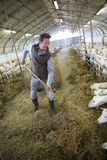 Agriculteur travaillant dans la grange rassemblant le foin Photo stock