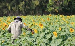 Agriculteur travaillant dans le domaine de tournesol Photo libre de droits