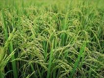 Agriculteur vert de paddy de gisements de riz photographie stock