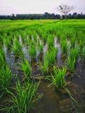 Agriculteur vert de paddy de gisements de riz photo libre de droits
