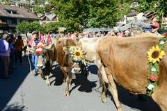 Agriculteurs avec un troupeau de vaches sur la transhumance annuelle chez Engelb Photographie stock libre de droits