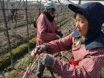 Agriculteurs chinois coupant des branches de raisin Image libre de droits