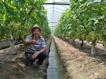 Agriculteurs chinois qui cultivent des raisins Photos libres de droits