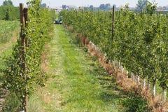 Agriculteurs dégageant la plantation de poires, lerida photos stock