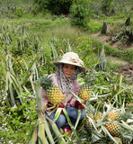 Agriculteurs d'ananas. Image stock