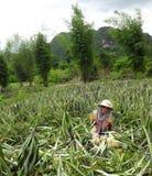 Agriculteurs d'ananas. Image libre de droits