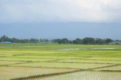 agriculteurs d'usine de riz plantant le riz Images stock