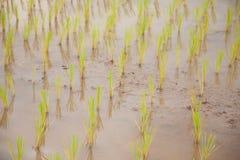 agriculteurs d'usine de riz plantant le riz Photographie stock libre de droits