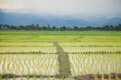 agriculteurs d'usine de riz plantant le riz Photographie stock