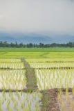 agriculteurs d'usine de riz plantant le riz Photos stock