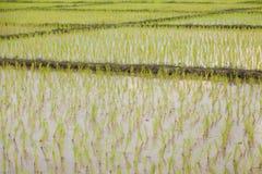 agriculteurs d'usine de riz plantant le riz Image libre de droits