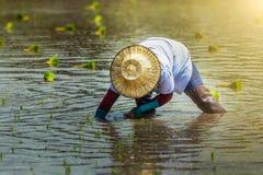Agriculteurs de riz de la Thaïlande plantant la saison Image libre de droits
