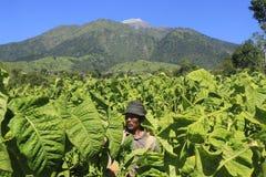 Agriculteurs de tabac Photographie stock libre de droits