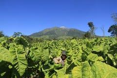 Agriculteurs de tabac Photo stock