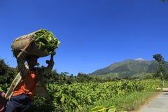 Agriculteurs de tabac Images libres de droits