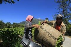 Agriculteurs de tabac Photos libres de droits