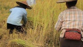 Agriculteurs locaux thaïlandais du nord locaux de riz moissonnant, à la main, les cultures luxuriantes de riz et les étalant pour clips vidéos