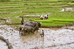 Agriculteurs malgaches labourant le champ agricole de la manière traditionnelle Images stock