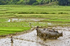 Agriculteurs malgaches labourant le champ agricole de la manière traditionnelle Photo stock