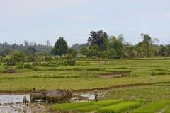 Agriculteurs malgaches labourant le champ agricole de la manière traditionnelle Photographie stock libre de droits