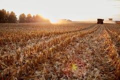 Agriculteurs moissonnant le maïs pendant l'heure d'or photographie stock