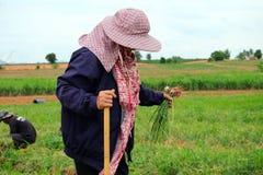 Agriculteurs moissonnant organiquement les échalotes vertes Image libre de droits