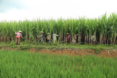 Agriculteurs moissonnant sur le gisement de canne à sucre Images stock