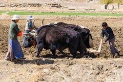 Agriculteurs non identifiés labourant les terres agricoles avec des yaks - Ti image stock