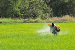 2 agriculteurs pulvérisant l'insecticide dans le domaine de riz Photographie stock libre de droits