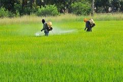 2 agriculteurs pulvérisant l'insecticide dans le domaine de riz Photos libres de droits