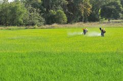 2 agriculteurs pulvérisant l'insecticide dans le domaine de riz photo libre de droits
