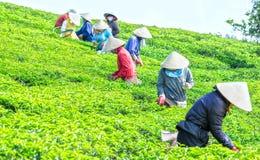 Agriculteurs sélectionnant le thé le matin d'association collective de plantation Photo libre de droits