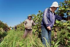 Agriculteurs travaillant dans le vignoble pendant le temps de récolte à la vallée verte de raisin Photo libre de droits
