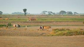 Agriculteurs travaillant dans les domaines avec des vaches banque de vidéos
