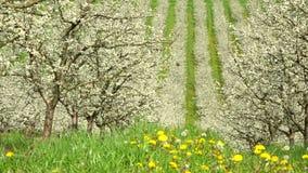 Agricultura, árboles frutales blosoming hermosos del ciruelo en huerta, porción y Garona, 47 metrajes