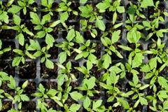 Agricultura biológica, almácigos que crecen en invernadero Foto de archivo
