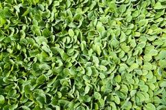 Agricultura biológica, almácigos que crecen en invernadero Fotografía de archivo