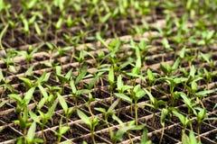 Agricultura biológica, almácigos que crecen en invernadero Foto de archivo libre de regalías