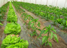 Agricultura biológica, lechuga y pimientas en invernadero Fotografía de archivo libre de regalías