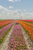 Agricultura - bulbos de flor - tulipas Foto de Stock
