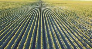 Agricultura, campo da cenoura no verão filme