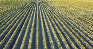 Agricultura, campo da cenoura no verão video estoque